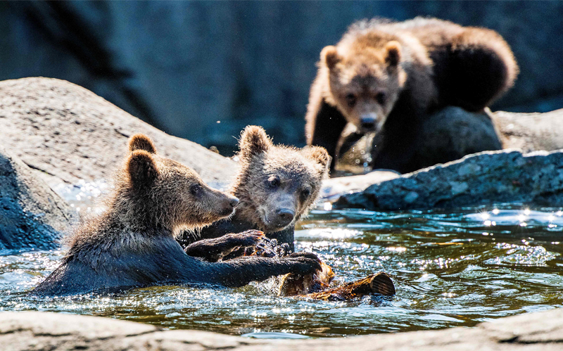 Stockholm : Bear cubs play in a pond in the bear enclosure at Stockholm Zoo Skansen as the temperature passed 30 degrees Celsius on June 25, 2020. AFP PHOTO